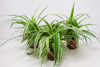Chlorophytum comosum T12cm