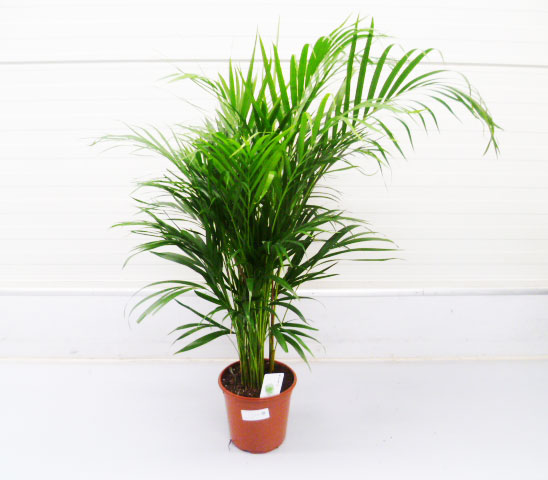 Chrysalidocarpus lutescens 21cm