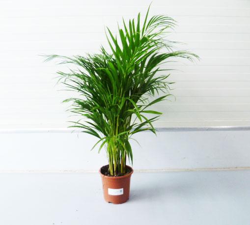 Chrysalidocarpus lutescens 30cm