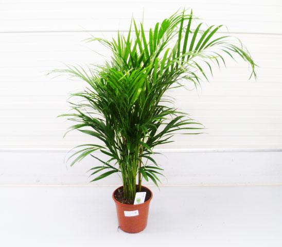 Chrysalidocarpus lutescens 19cm
