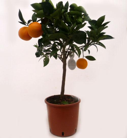 Citrus sinensis T20cm